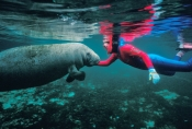 manatee-picture;manatee;west-indian-manatee;florida-manatee;manatee-springs;manatee-state-park;centr