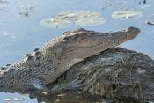 esturine-crocodile-picture;estuarine-crocodile;saltwater-crocodile;crocodile;crocodylus-porosus;man-