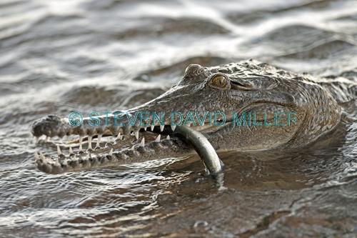 freshwater crocodile picture;freshwater crocodile;johnston's crocodile;crocodylus johnstoni;australian crocodile;crocodile close up;crocodile jaw;crocodile eating a fish;australian crocodile;australian reptile;kununurra;lake kununurra;steven david miller