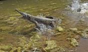 freshwater-crocodile;johnstones-crocodile;australian-crocodile;crocodile-agression;crocodylus-johnst