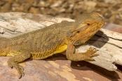 reptile;dragon-lizard;poikilotherm;australian-reptile;reptile-claws