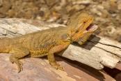 reptile;dragon-lizard;poikilotherm;australian-reptile;reptile-teeth;reptile-mouth