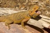 reptile;dragon-lizard;poikilotherm;australian-reptile;reptile-mouth;reptile-teeth