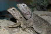common-bearded-dragon;bearded-dragon;dragon-lizard;lizards-mating;dragons-mating;dragon-lizards-mati