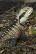 eastern-water-dragon;physignathus-lesueurii;water-dragon-on-log;lane-cove-national-park;eastern-wate