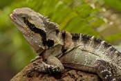 eastern-water-dragon-picture;eastern-water-dragon;eastern-water-dragon;water-dragon;physignathus-les