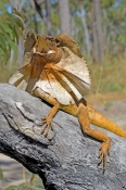frilled-lizard;frilled-lizard-display;chlamydosaurus-kingii;frilled-dragon-lizard;frilled-lizard-por