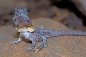 frilled-lizard;frilled-lizard-baby;baby-frilled-lizard;chlamydosaurus-kingii;frilled-dragon-lizard;f