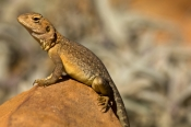 ring-tailed-dragon-lizard-picture;ring-tailed-dragon-lizard;ring-tailed-dragon;dragon-lizard;ctenoph