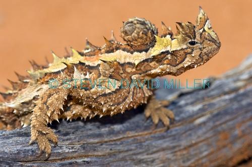 thorny devil picture;thorny devil;moluch horridus;thorny lizard;spiny lizard;lizard spines;spiny;thorny;thorns;camouflage;australian reptile;australian lizard;defensive armour;carnarvon;western australia;central australia;steven david miller