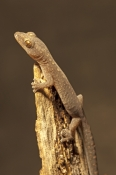 zigzag-velvet-gecko;velvet-gecko;gecko;australian-gecko;oedura-rhombifer;undara-volcanic-national-pa