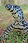 lace-monitor;lace-monitor-picture;lace-monitor-lizard;goanna;australian-goanna;australian-monitor;au