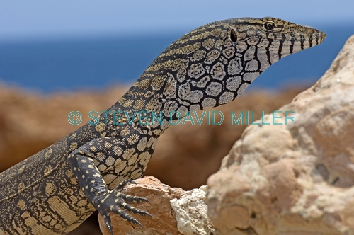 perentie picture;perentie;varanus giganteus;goanna;australian goanna;australian reptile;point quobba;western australia reptile;large reptile;monitor lizard;australian lizards