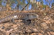 common-blue-tongue-lizard;blue-tongue-lizard;blue-tongue-lizard;eastern-blue-tongue-lizard;northern-