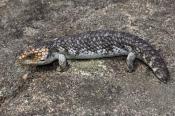shingleback-lizard;stumpy-tail-lizard;blue-tongue;skink;taliqua-rugosa-rugosa;taliqua-rugosa;bobtail