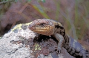 southern-blue-tongue-lizard;southern-blue-tongue-lizard;blotched-blue-tongue-lizard;blotched-blue-to