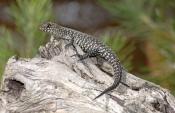 cunninghams-skink;cunninghams-skink;skink;australian-skinks;australian-lizards;australian-reptiles;a