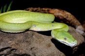 green-python;green-snake;python;australian-python;australian-reptiles;australian-snakes;chondronphyt