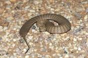 death-adder;pilbara-death-adder;venemous-snake;dangerous-snake;poisonous-snake;australian-snakes;aus
