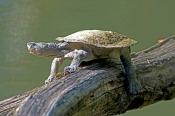 saw-shelled-turtle;saw-shelled-turtle;freshwater-turtle;side-necked-freshwater-turtle;australian-fre