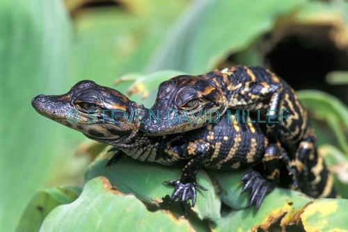 american alligator;alligator mississippiensis;baby american alligator;alligator baby;alligator babies;baby animal;baby reptile;american reptile;corkscrew swamp sanctuary;southwest florida