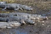 North American Reptiles