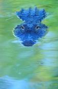 american-alligator-picture;american-alligator;alligator;gator;alligator-mississippiensis;alligator-o