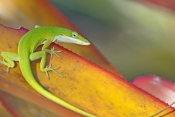 green-anole-picture;green-anole;anolis-carolinensis;american-anole;green-lizard;native-american-anol