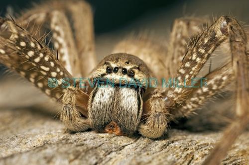 huntsman spider picture;huntsman spider;badge hunstman spider;spider genus neosparassus;spider genus olios;spider eyes;spider palps;spider mouth;spider legs;undara volcanic national park;queensland spider;steven david miller