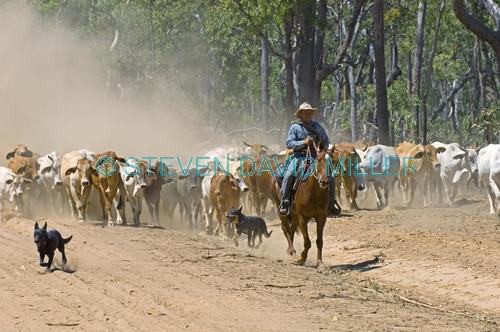 stockman;stockman on horse;cattle muster;working cattle dogs;cattle muster on horseback;cattle station;brahman cattle;brahman muster
