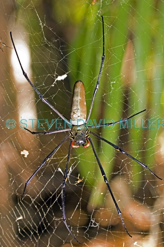 golden orb-weaving spider picture;golden orb-weaving spider;female golden orb spider;golden orb-weaving spider;australian spider;big spider;spider in web;nephila maculata;araneidae spider;nephilinae spider;steven david miller;natural wanders;litchfield national park