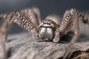 huntsman-spider-picture;huntsman-spider;badge-hunstman-spider;spider-genus-neosparassus;spider-genus