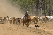 stockman;stockman-on-horse;cattle-muster;working-cattle-dogs;cattle-muster-on-horseback;cattle-stati