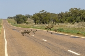emu-family;emus-crossing-the-road;animals-crossing-the-road;wildlife-crossing-the-road;barkly-highwa